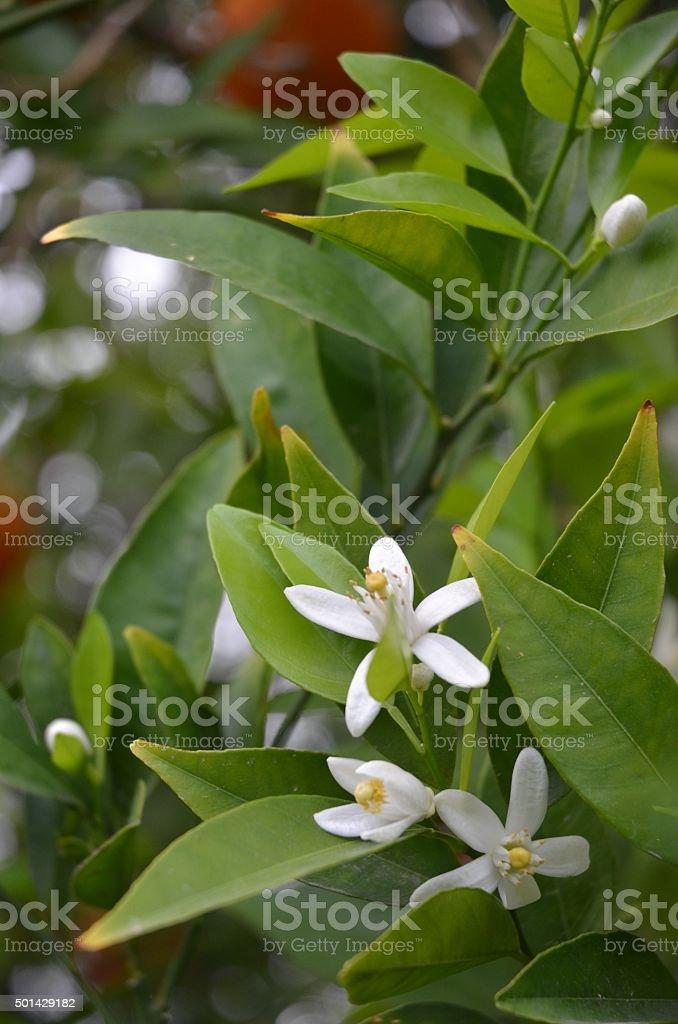 White, Fragrant Orange Blossoms Against Dark Green Leaves royalty-free stock photo
