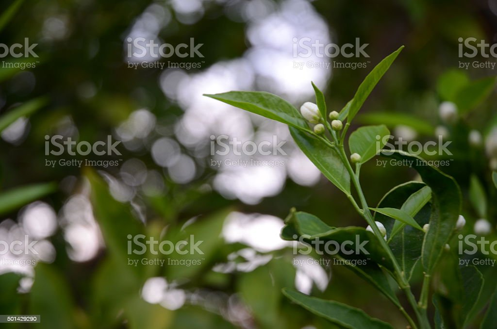 White, Fragrant Orange Blossoms Against Dark Green Leaves royalty-free stock photo