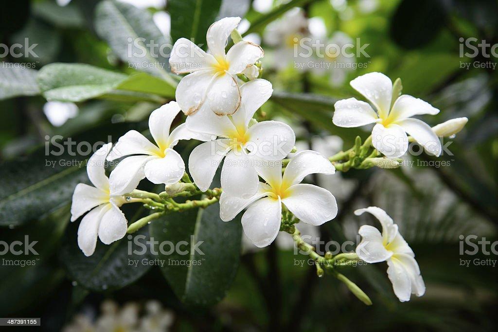 White Frangipani flower after rain stock photo