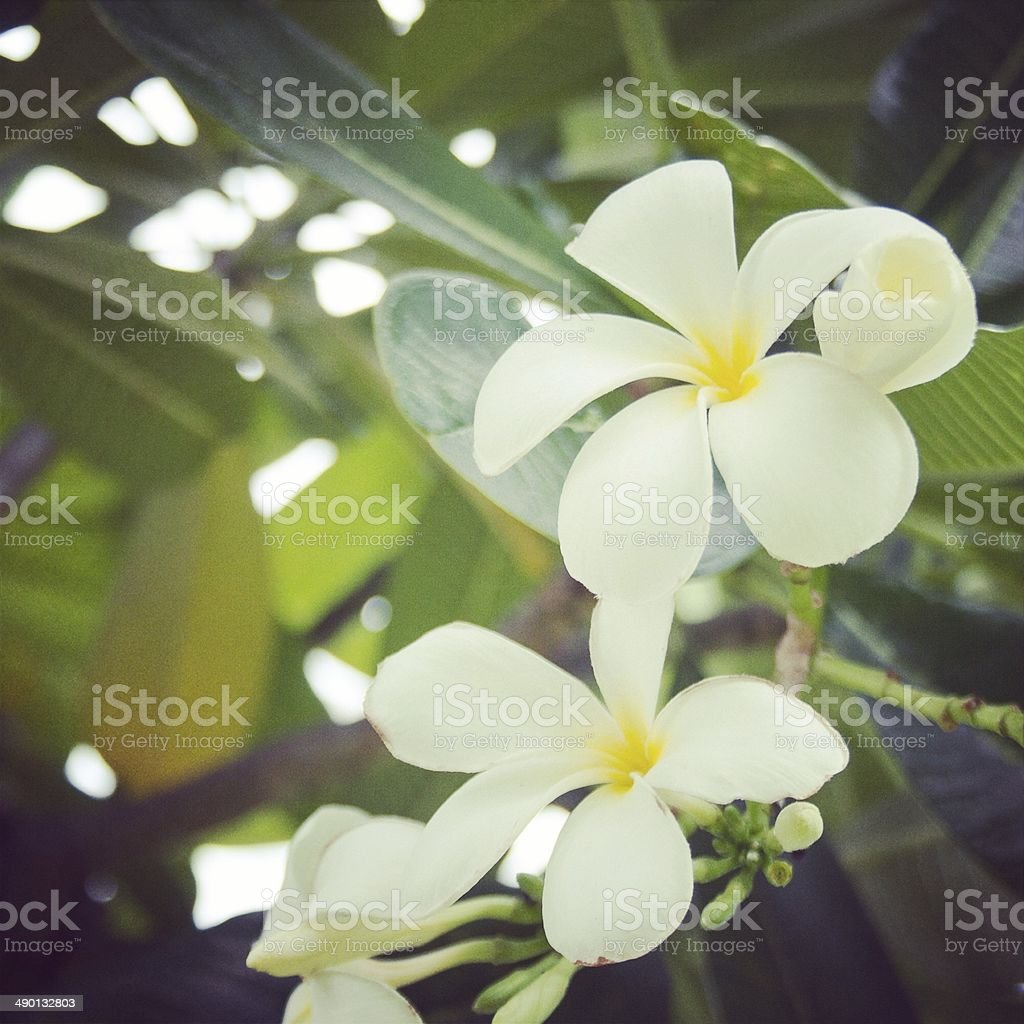 Белого франжипани цветок винтаж Стоковые фото Стоковая фотография