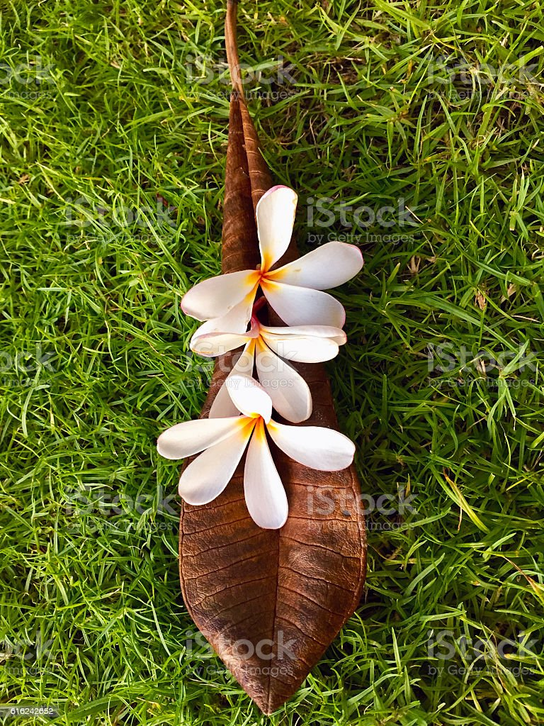 White Frangipani (Pua Melia) Flowers Arranged on a Leaf stock photo