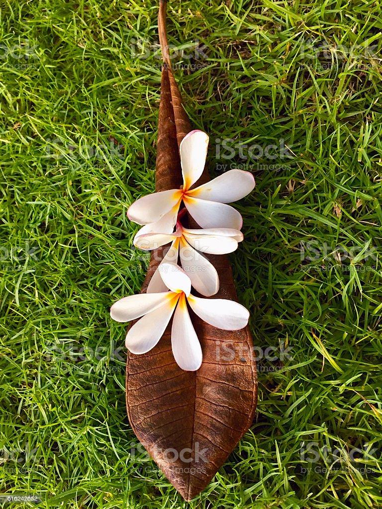 White Frangipani (Pua Melia) Flowers Arranged on a Leaf stock photo