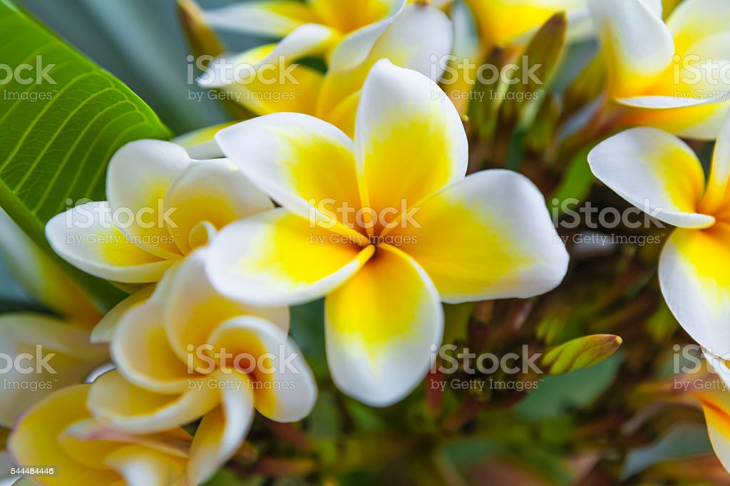 White frangipani tropical flower, plumeria flower blooming on the tree stock photo