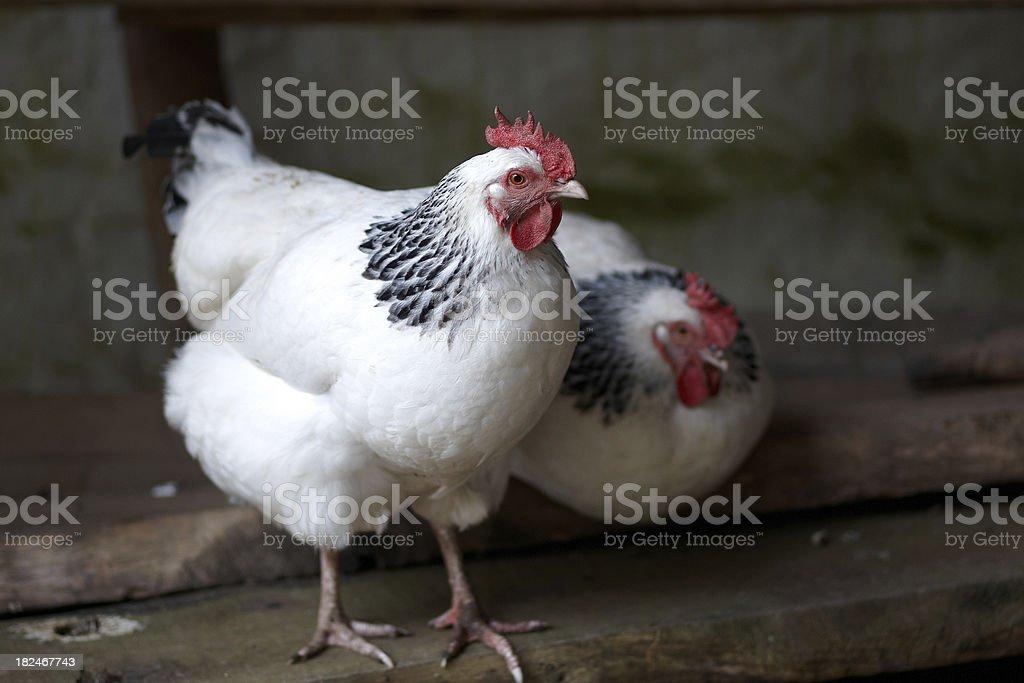 White free range chickens royalty-free stock photo
