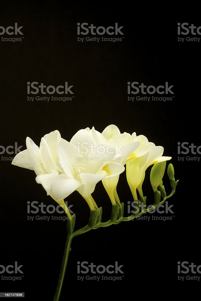 White Freesia Flower Isolated on Black, Vertical royalty-free stock photo