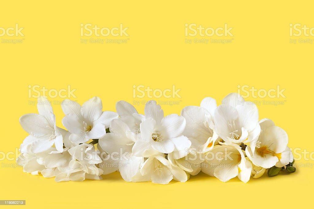 White Freesias royalty-free stock photo