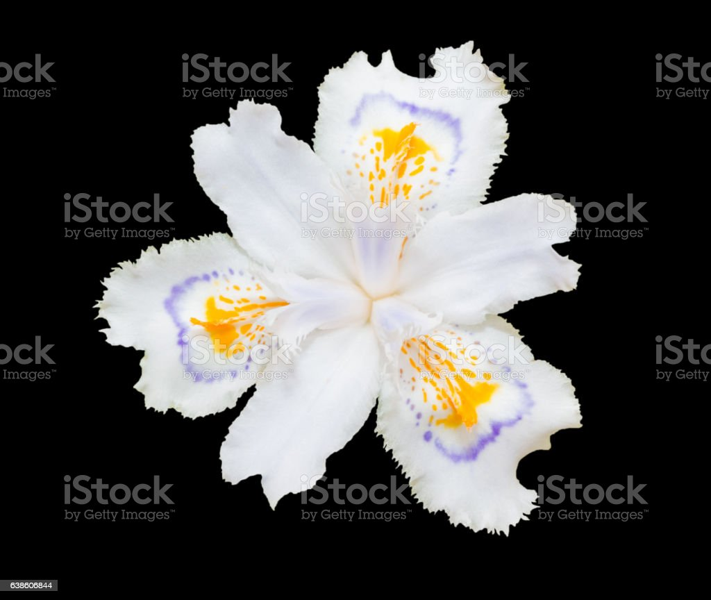 White fringed iris blooming (Iris japonica) isolated on black stock photo