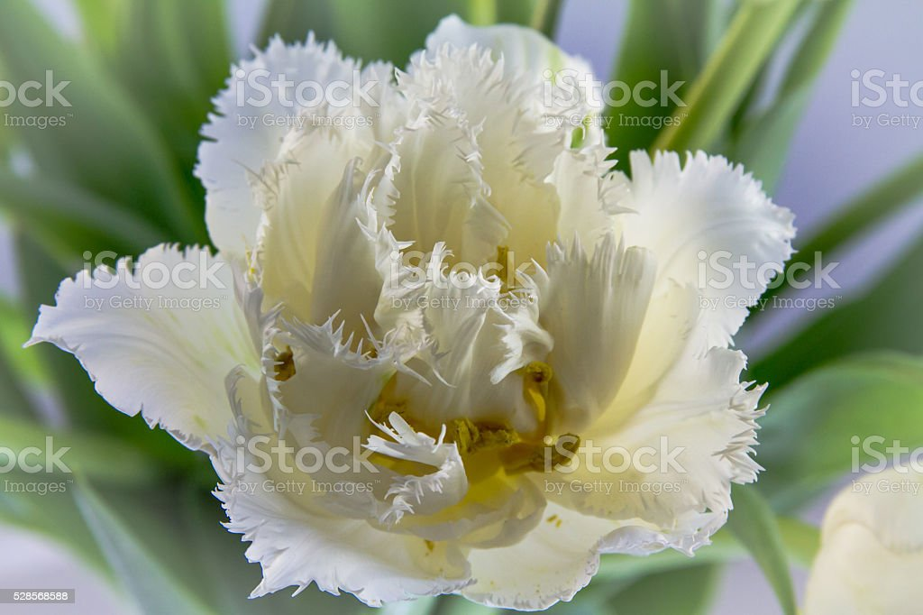 White Fringed Tulip stock photo