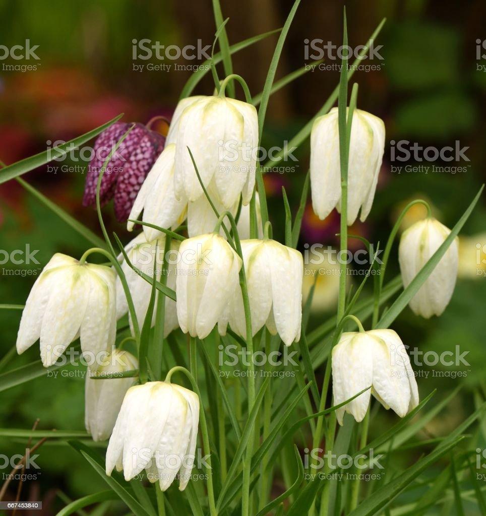 White Fritillaries stock photo