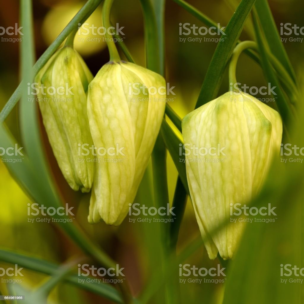 White Fritillary stock photo