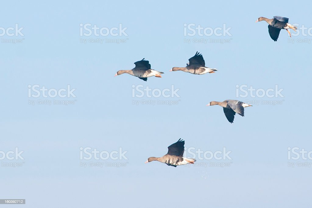 White fronted Goose royalty-free stock photo