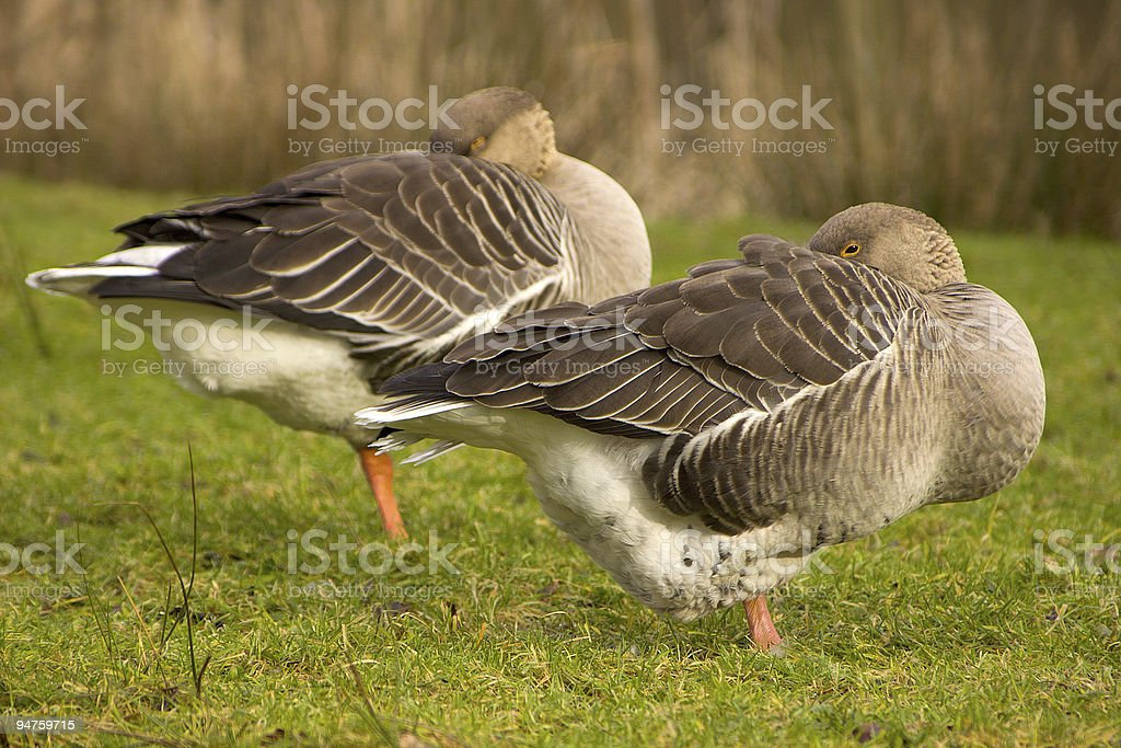 White fronted goose sleeping (Anser albifrons) stock photo