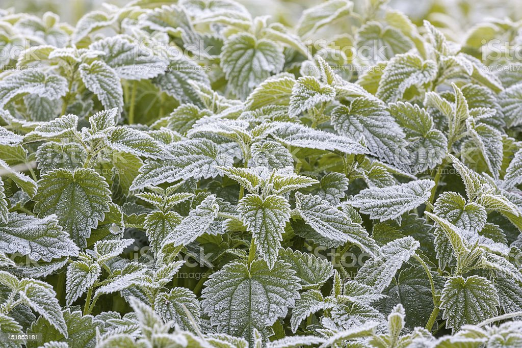 White frost on the leaves of nettles stock photo