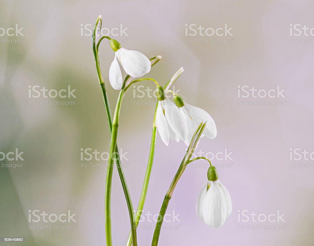 White Galanthus flowers, bouquet, floral arrangement stock photo