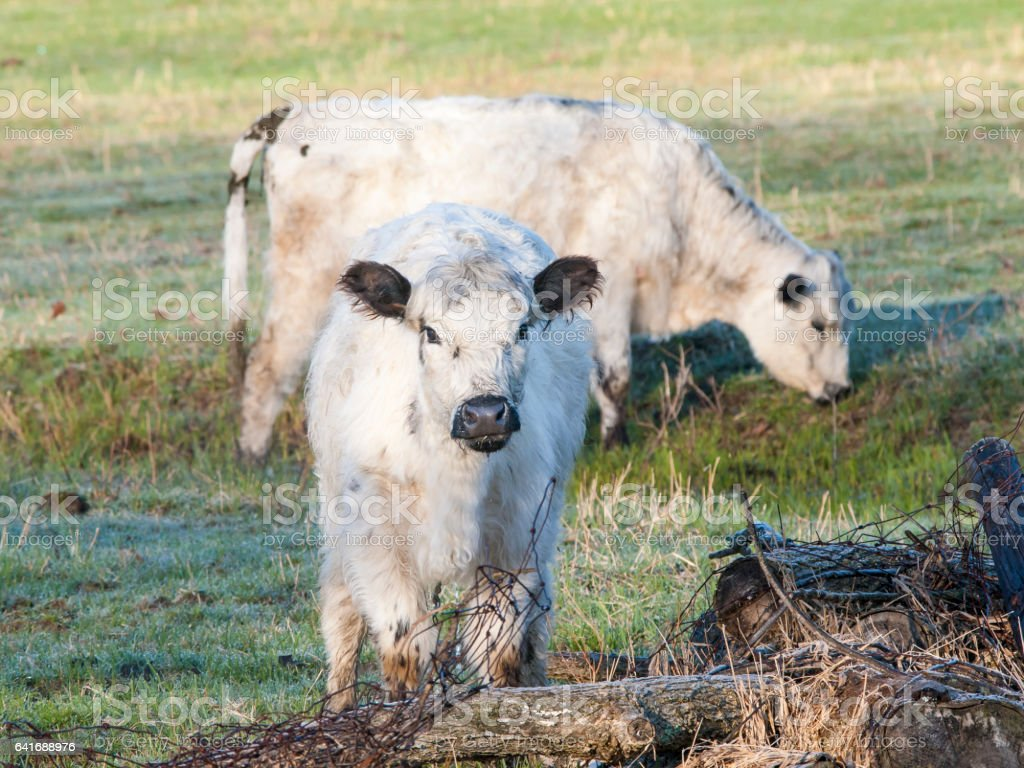 White Galloway Cows stock photo