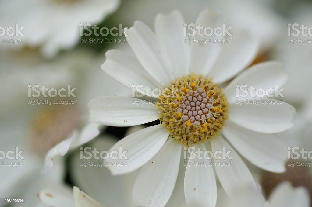 White garden flowers stock photo