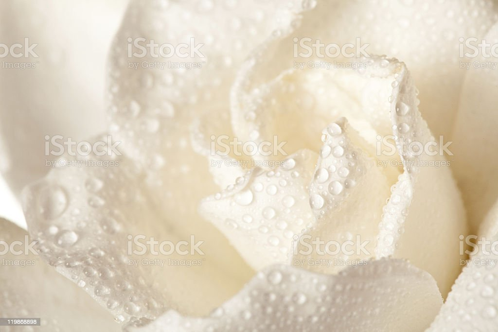 White Gardenia Blossom Isolated stock photo