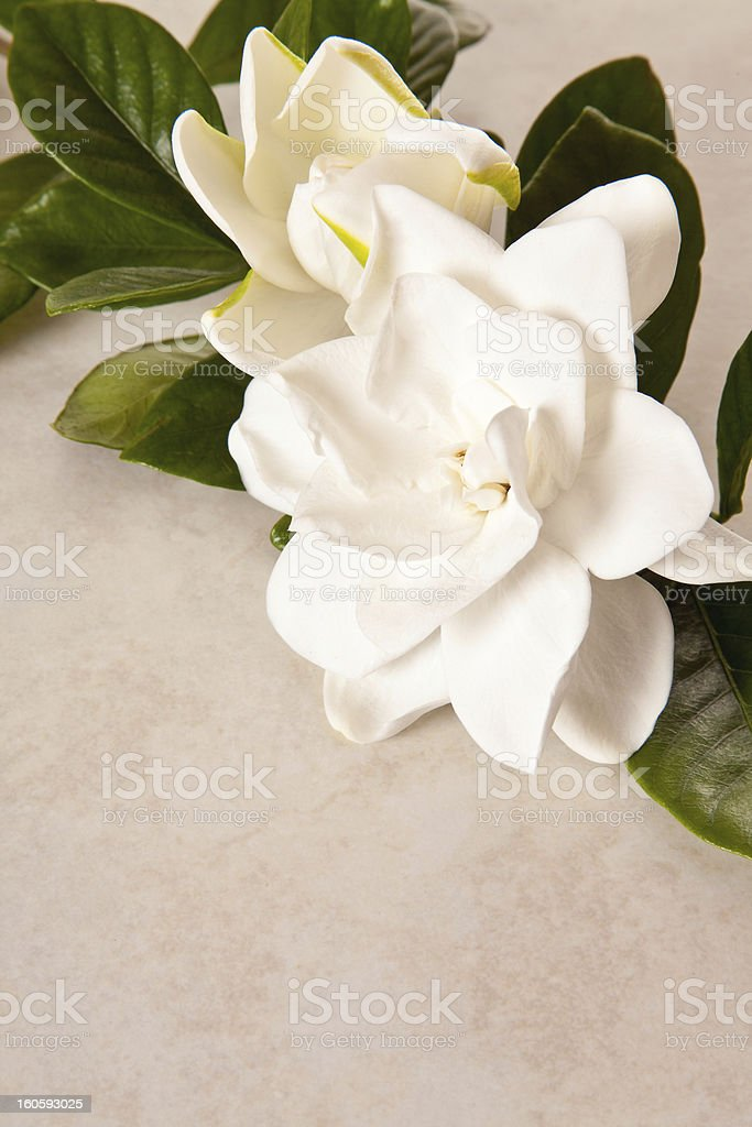 White Gardenia Blossom on a Marble Background stock photo