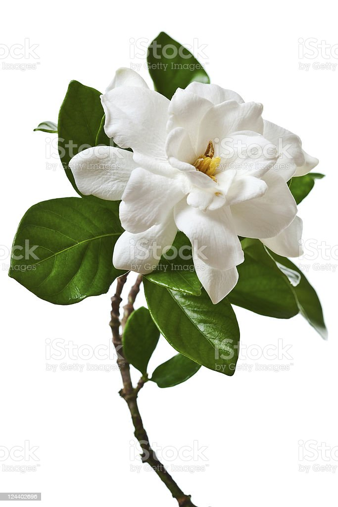 A white gardenia blossom on a white background stock photo