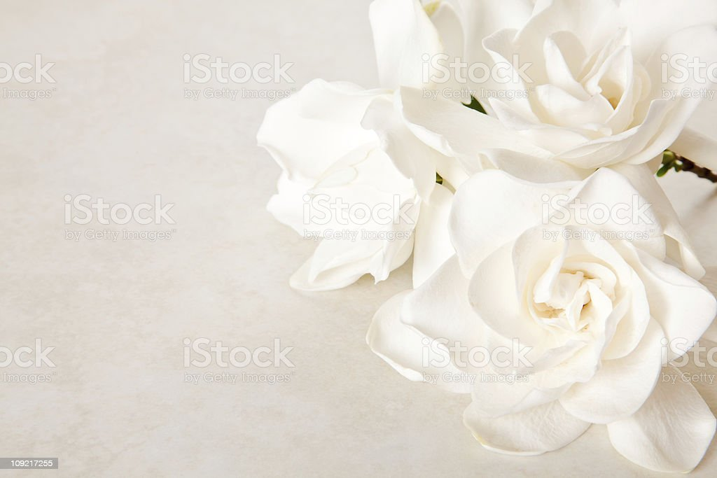 White Gardenia Blossom on Marble Background stock photo