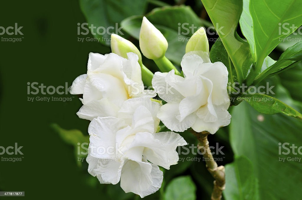White Gardenia flower, Cape Jasmine or jasminoides stock photo