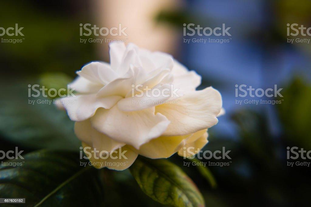 white gardenia in closeup