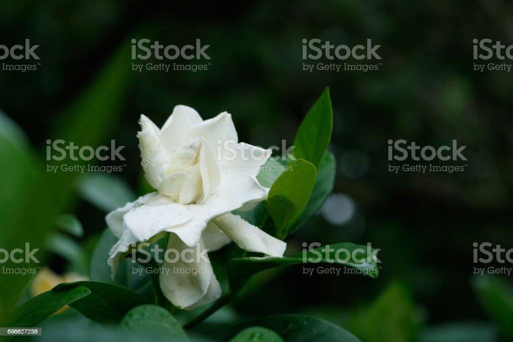 Aromatic white Gardenia flower or Cape Jasmine flower in garden
