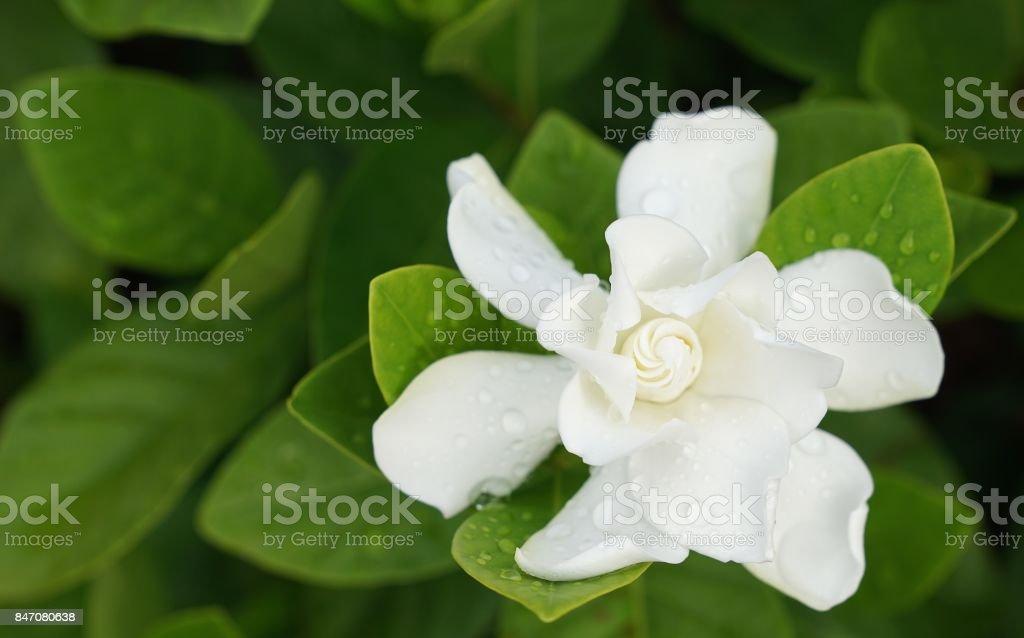 White Gardenia Flower with rain drops
