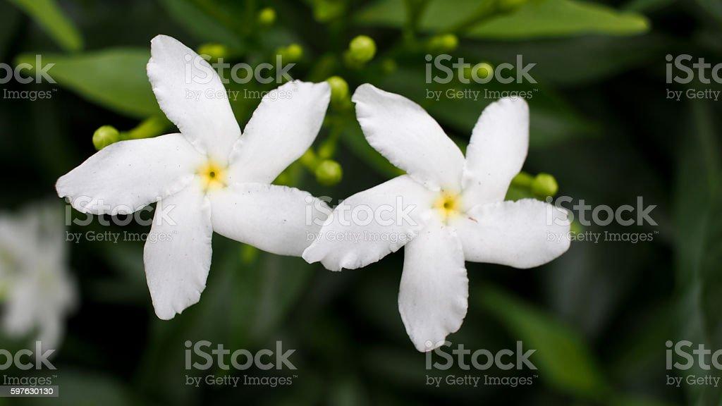 White Gardenia Flowers Blooming Like Dancing