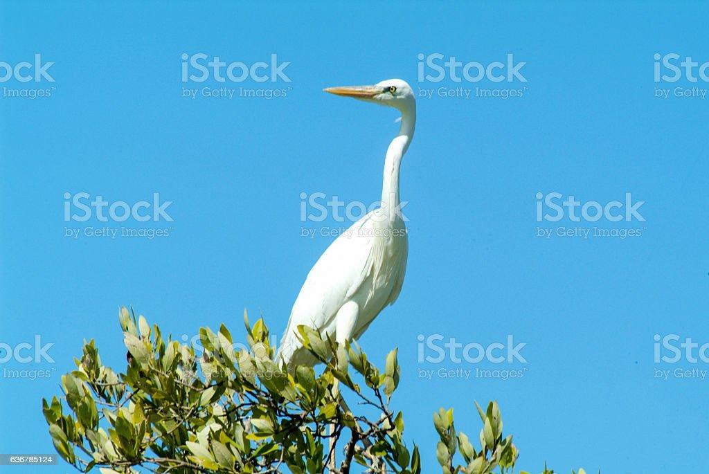 White Gauze on a tree at Isla de los Pajaros stock photo