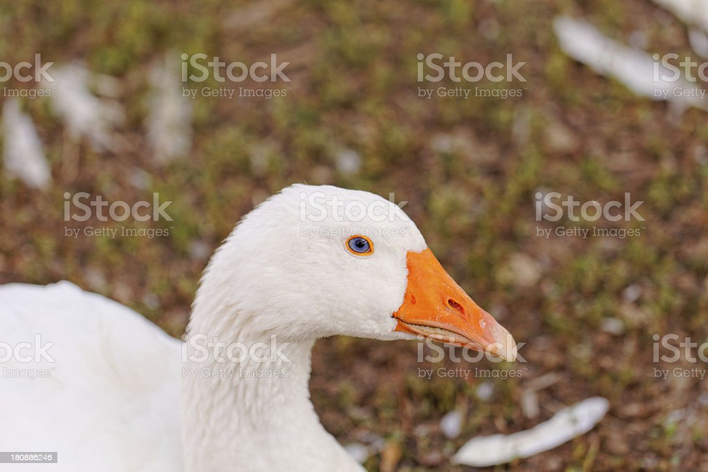 White Geese royalty-free stock photo
