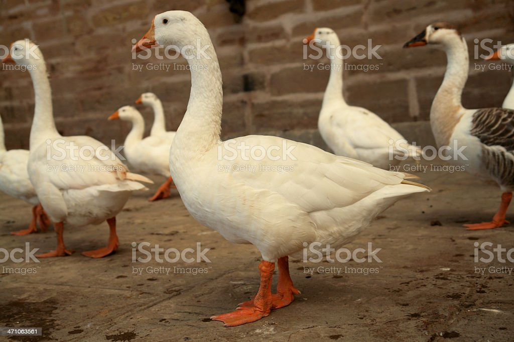 White Geese royalty-free stock photo