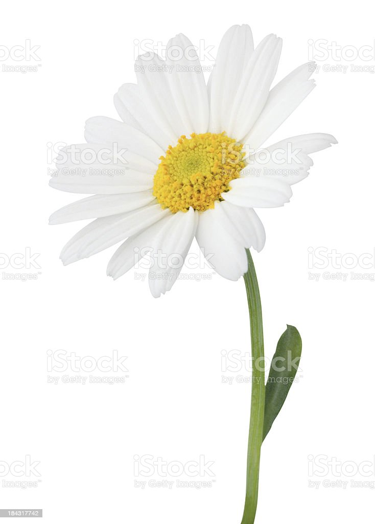 White Gerber daisy isolated on white background stock photo