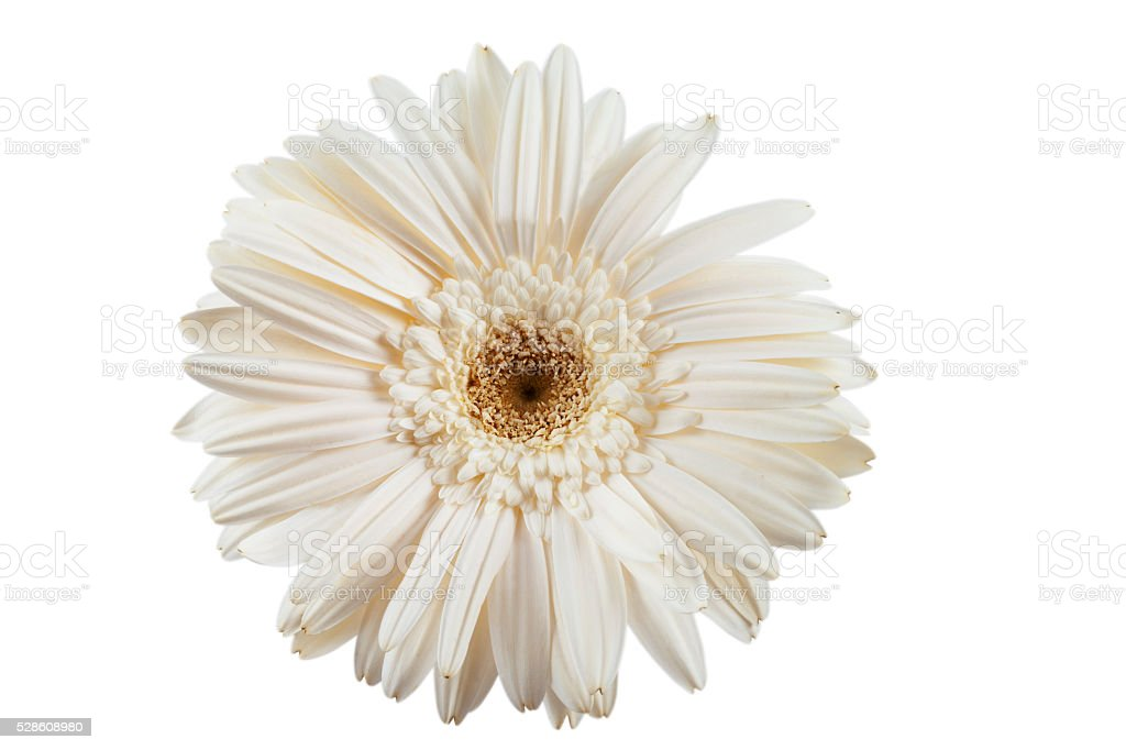 White Gerbera and white background stock photo