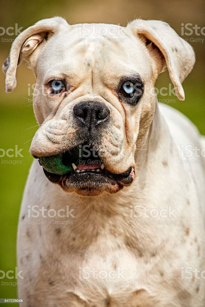 White german boxer jumping with a ball in his mouth stock photo