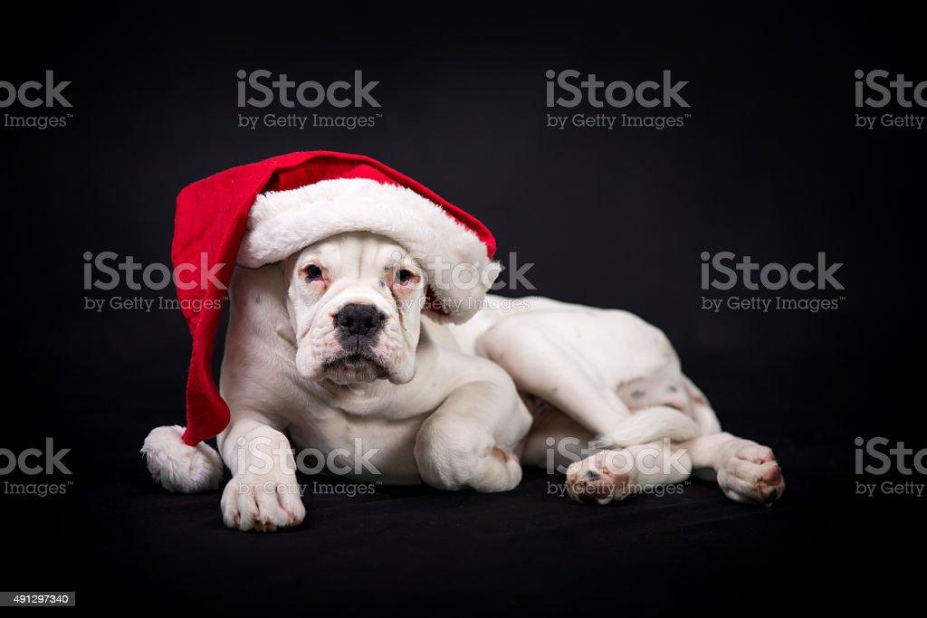 White german boxer puppy  with santa's cap stock photo