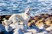 White German Shepherd dog at the beach