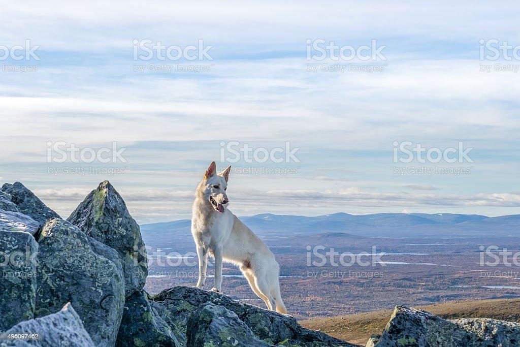 White German Shepherd dog standing on a mountain stock photo
