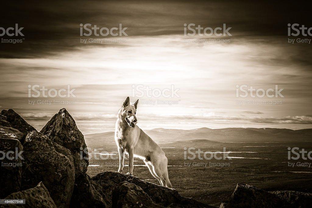 White German Shepherd dog standing on top of the mountain stock photo