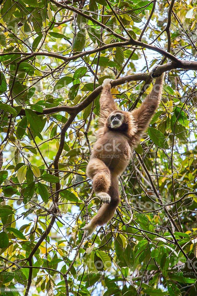 White gibbon hanging on a tree stock photo