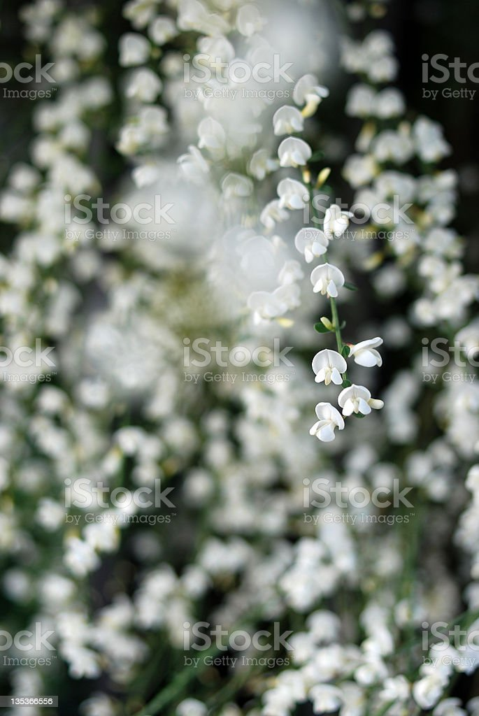 White ginestra floral defocus background stock photo