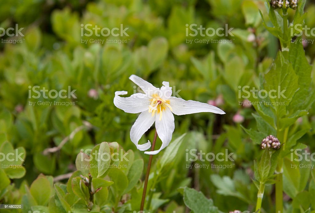 White Glacier Lily stock photo