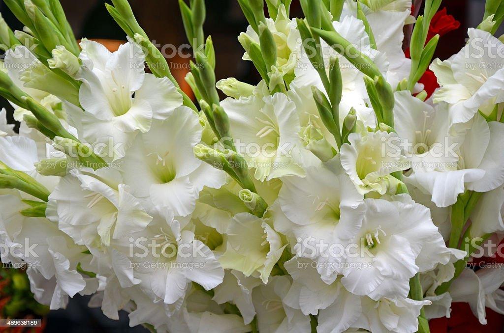 White gladiola flowers stock photo