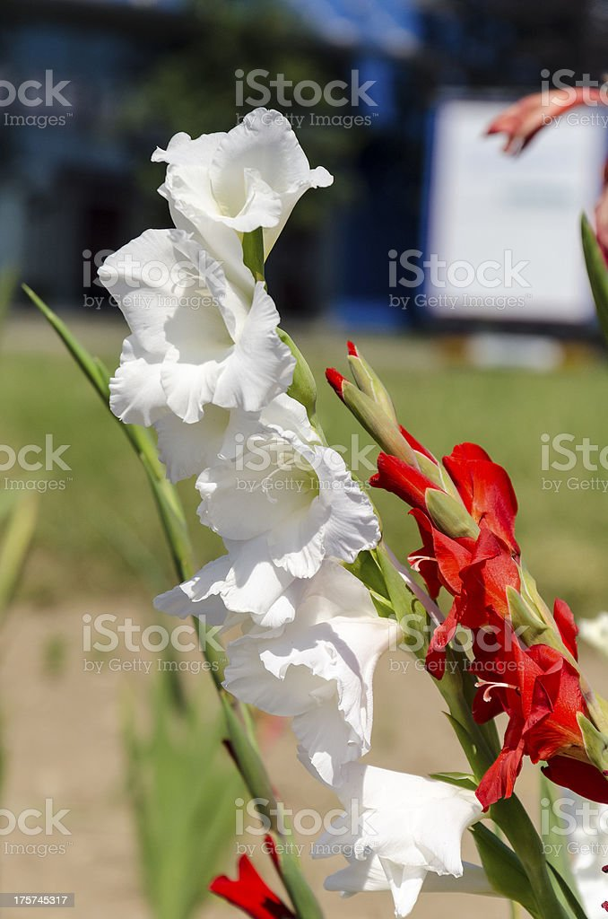 White Gladioli flower royalty-free stock photo