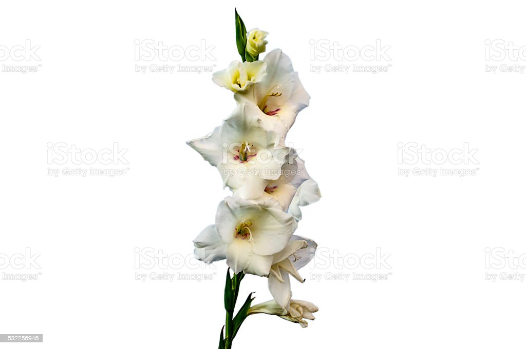 White gladiolus flowers stock photo