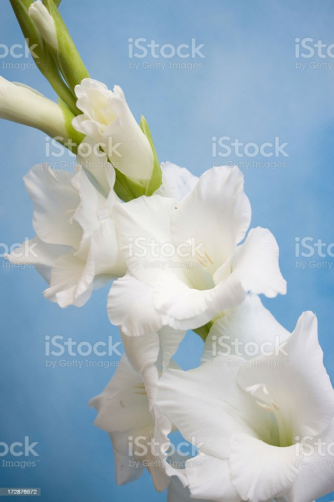 white gladiolus royalty-free stock photo