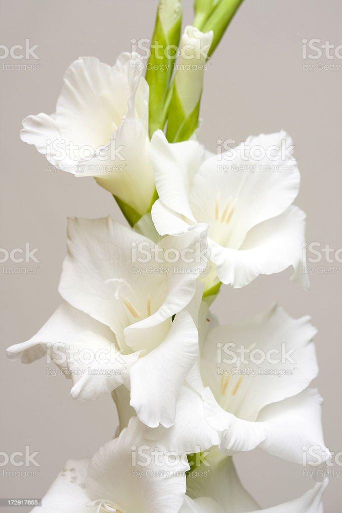white gladiolus stock photo