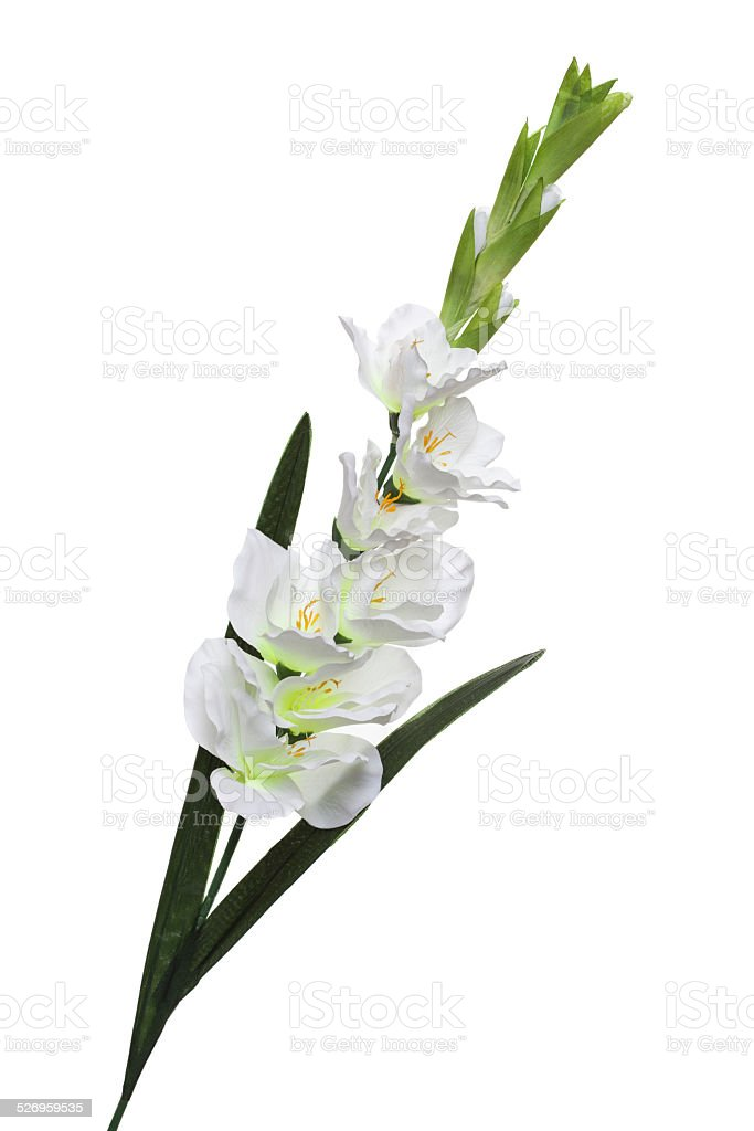 White gladiolus stock photo