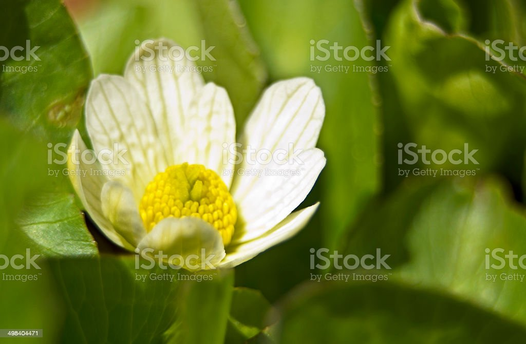 White Globeflower Blooming in Spring stock photo