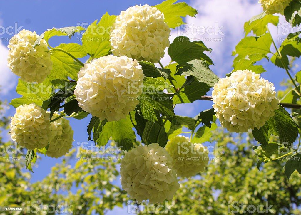 white globular flowers of Viburnum stock photo